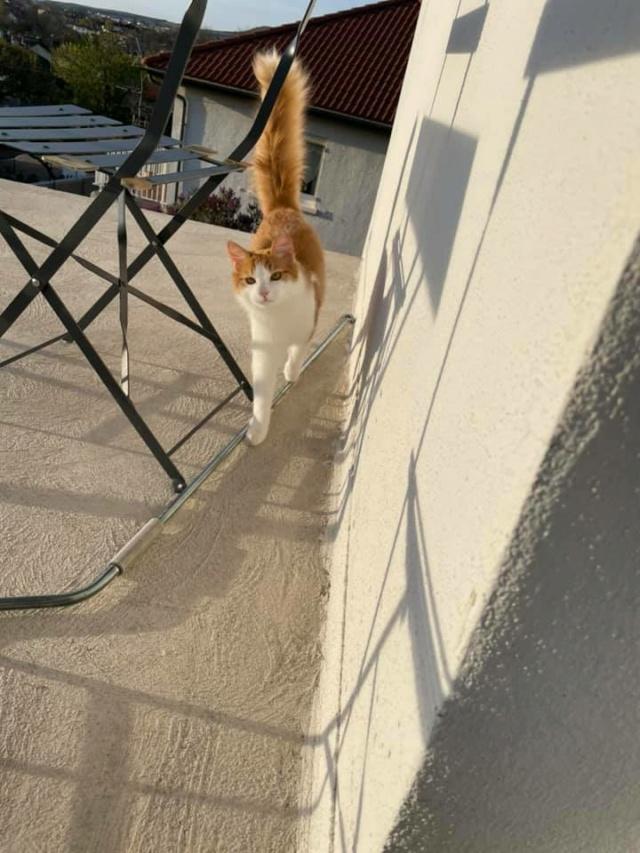 BABYLONE (chaton roux et blanc) 17925510
