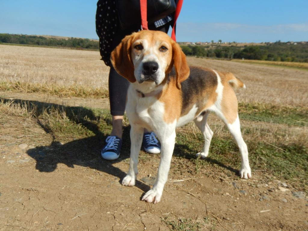 IODA (mâle croisé beagle) 1dscn713
