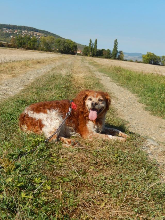 BOBY (mâle épagneul breton) 1dscn714