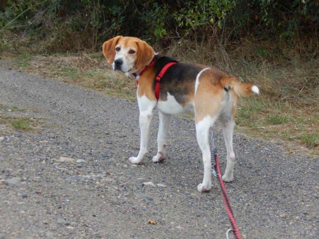 IODA (mâle croisé beagle) 1dscn718