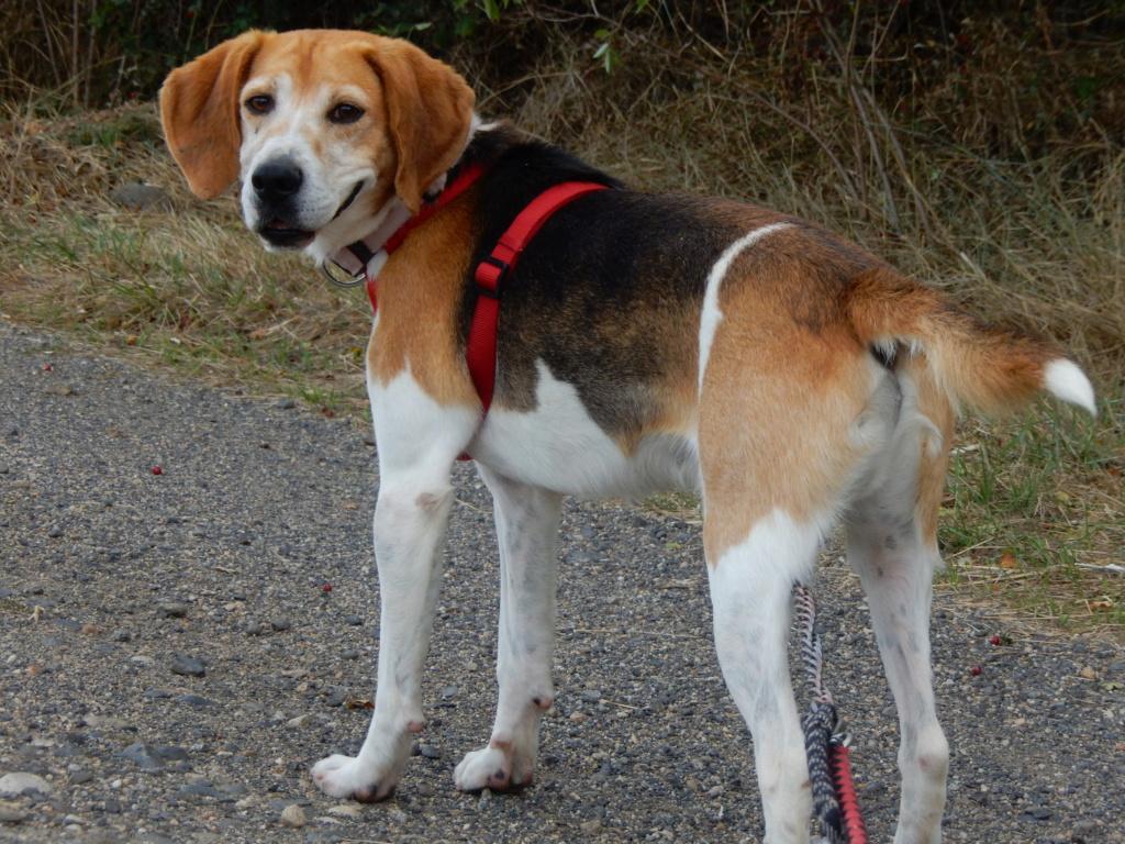 IODA (mâle croisé beagle) 2dscn719