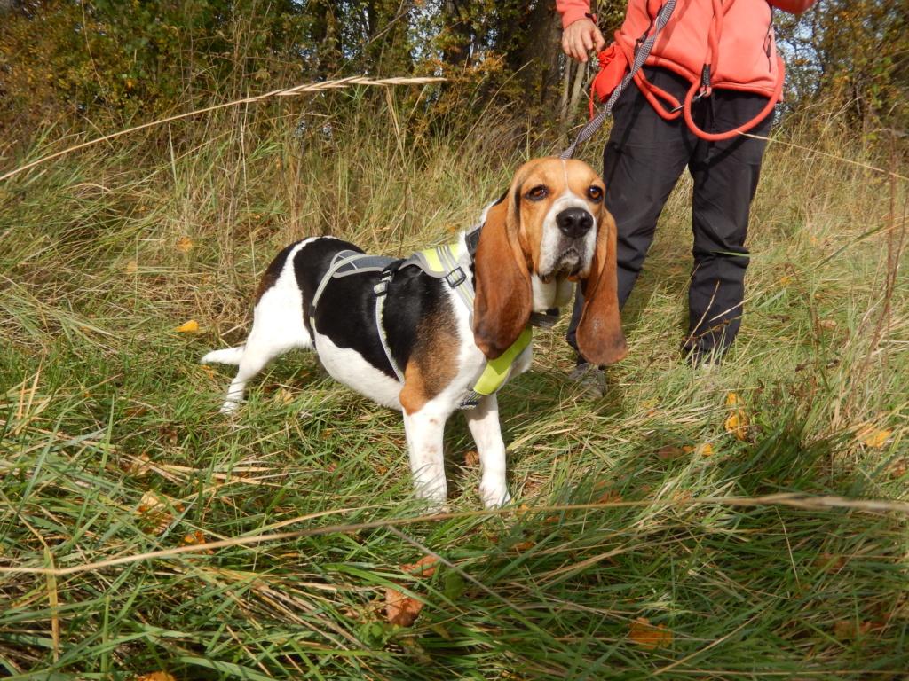 REINE (femelle croisée beagle)  2dscn721
