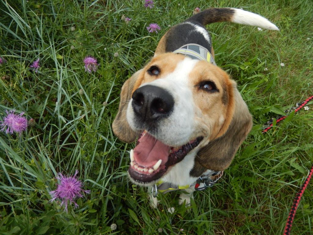 GOMETTE  (femelle croise beagle) 3dscn817