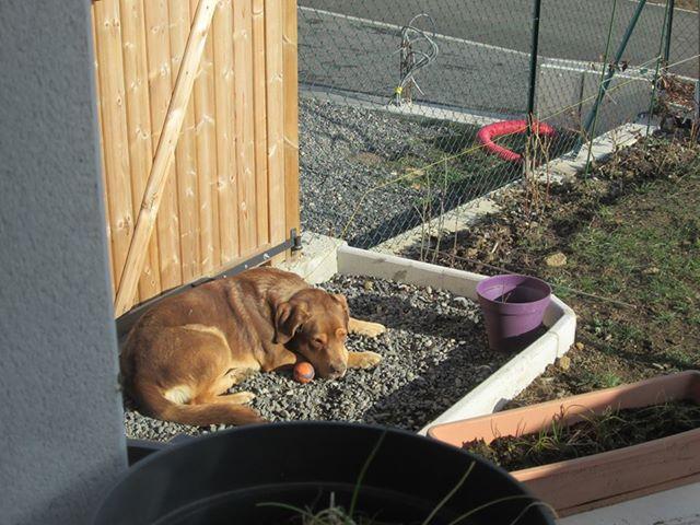 ZUMA (mâle croisé labrador) 49339010