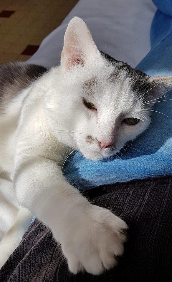 SHREK (mâle européen gris et blanc) 4_437610