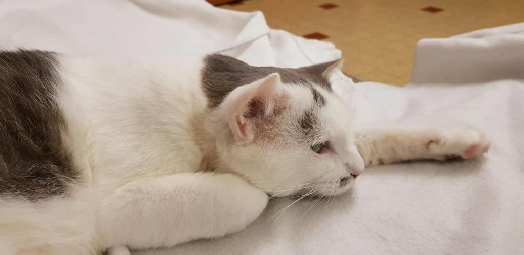 SHREK (mâle européen gris et blanc) 5_437410