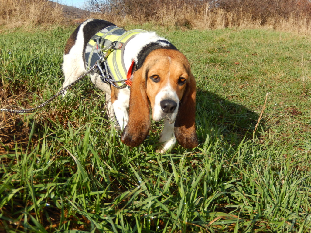 REINE (femelle croisée beagle)  5dscn725