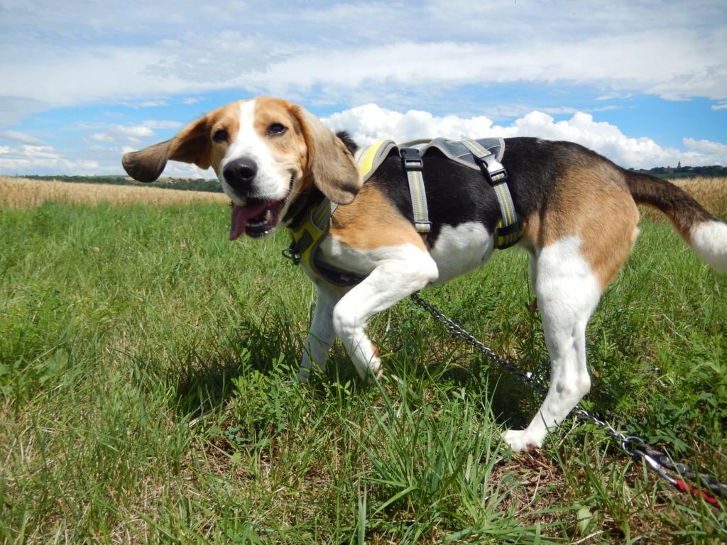 GOMETTE  (femelle croise beagle) 5dscn814