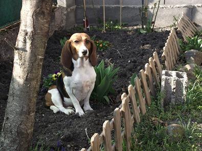 LOLI (femelle beagle) 60100910