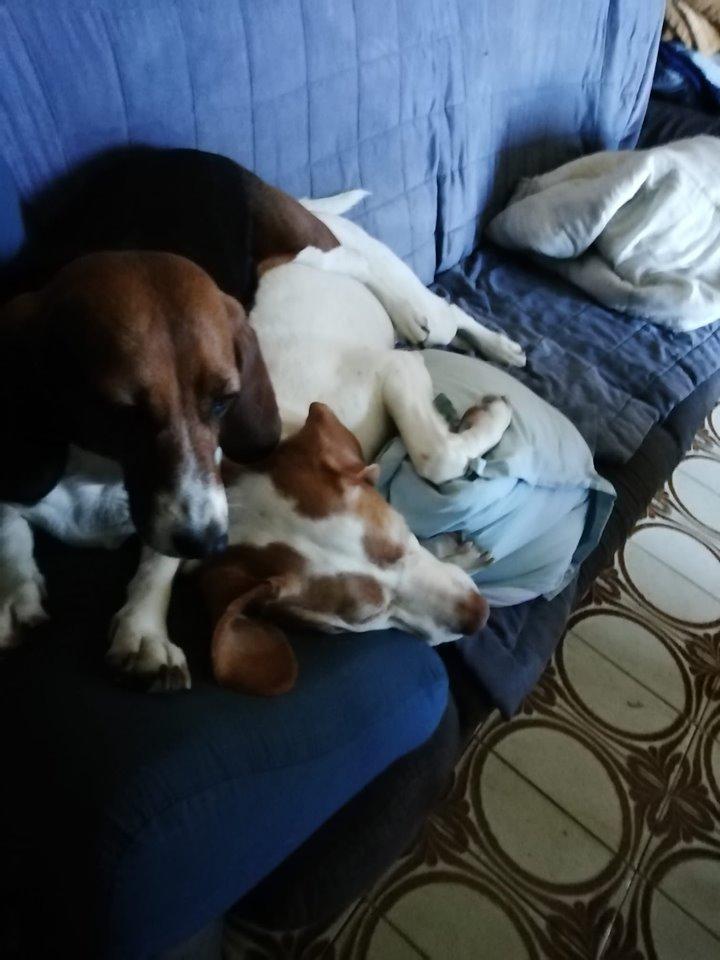LOLI (femelle beagle) 60460212