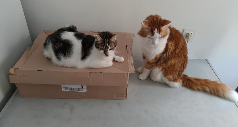GUISMO (chaton mâle roux et blanc) 65565411