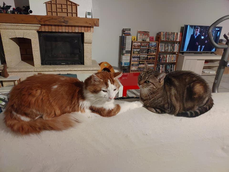 GUISMO (chaton mâle roux et blanc) 65639710