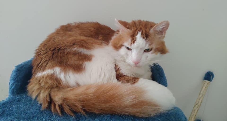 GUISMO (chaton mâle roux et blanc) 65663811