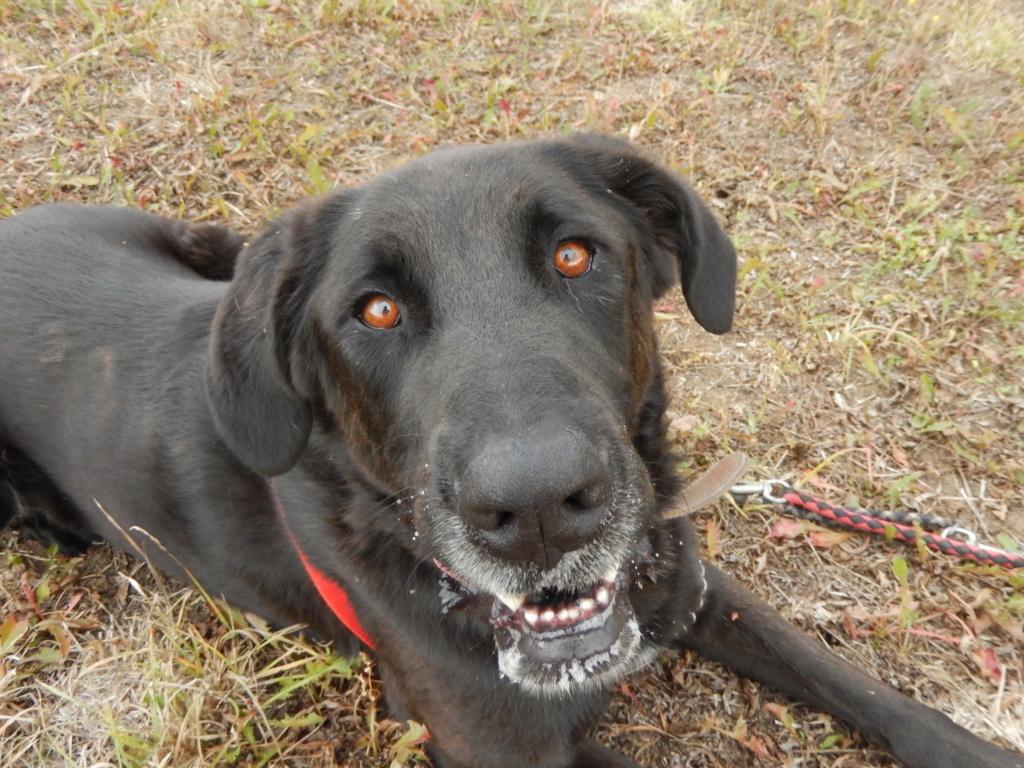 LOUXOR (chien mâle croisé dogue labrador) 6dscn710
