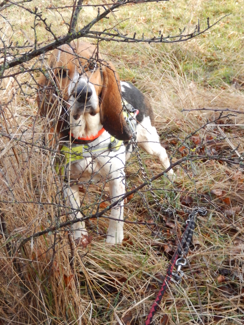 REINE (femelle croisée beagle)  6rscn710