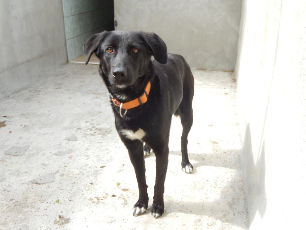 JOYCY (femelle croisée labrador) Dscn1315