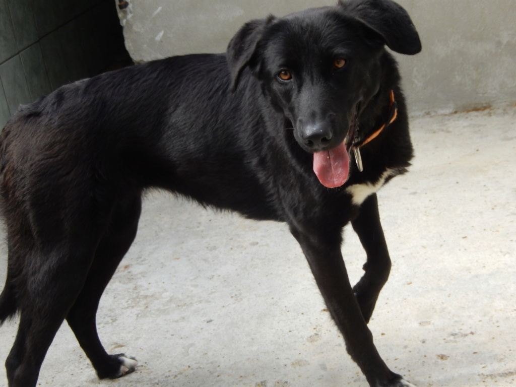 JOYCY (femelle croisée labrador) Dscn1317