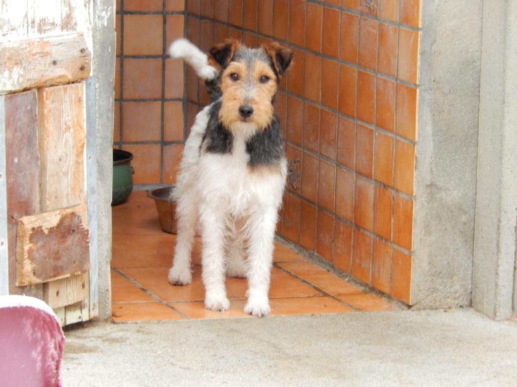 FRIPON -  fox terrier ..... ans -  Sos Animaux à Le Broc (63) Dscn1920