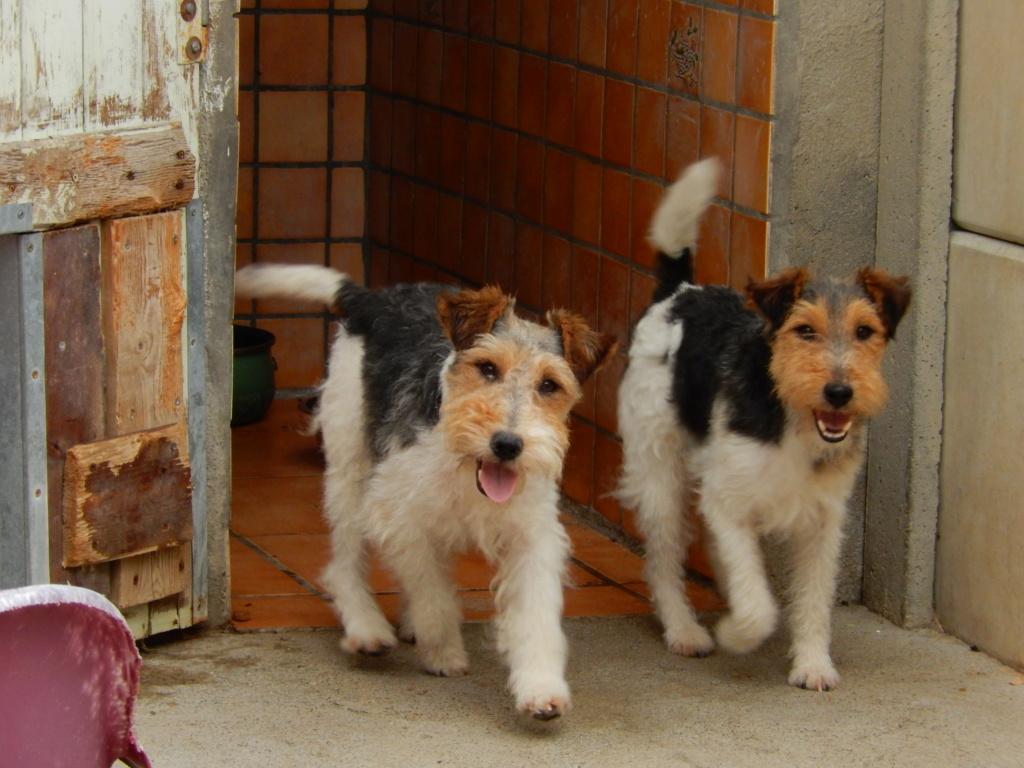 FRIPON -  fox terrier ..... ans -  Sos Animaux à Le Broc (63) Dscn1921