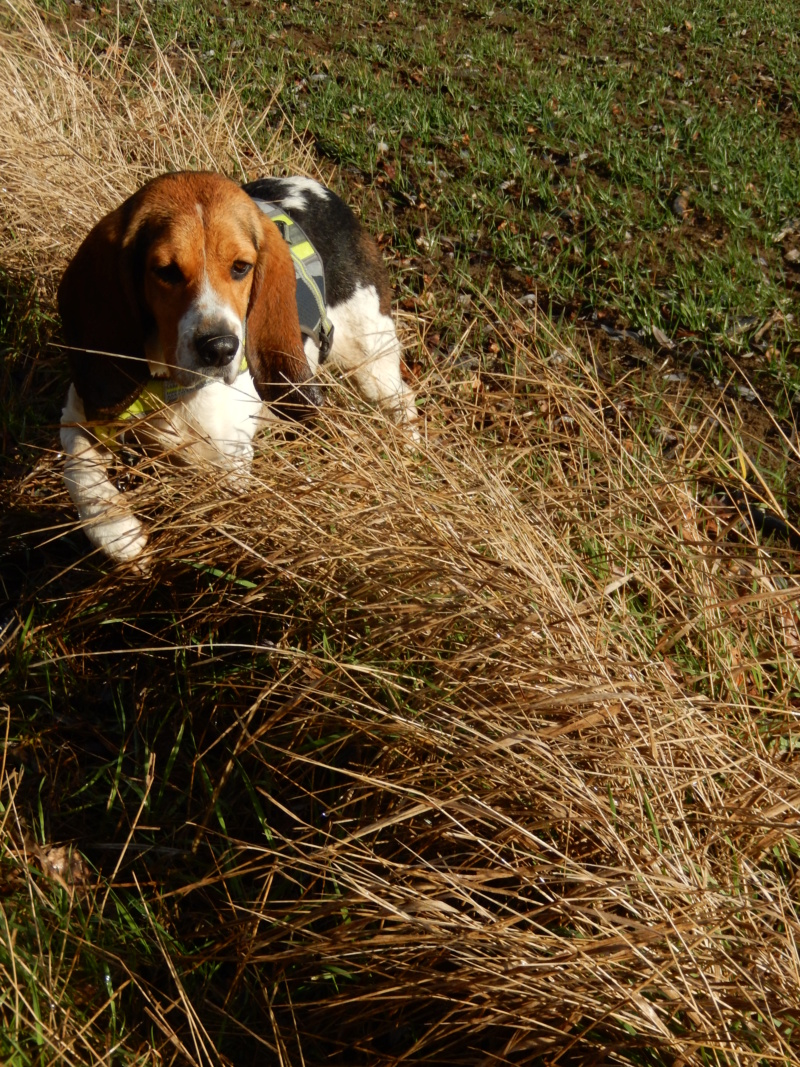 REINE (femelle croisée beagle)  Dscn7411