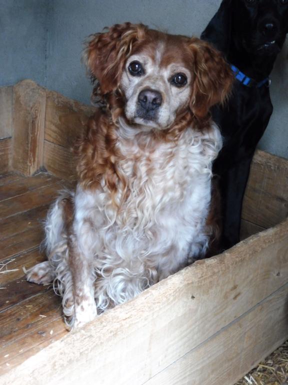 BOBY (mâle épagneul breton) P1010716