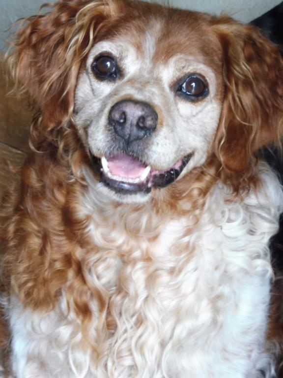 BOBY (mâle épagneul breton) P1010717