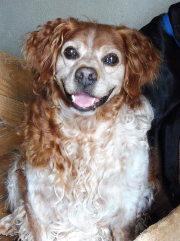BOBY (mâle épagneul breton) P1010718