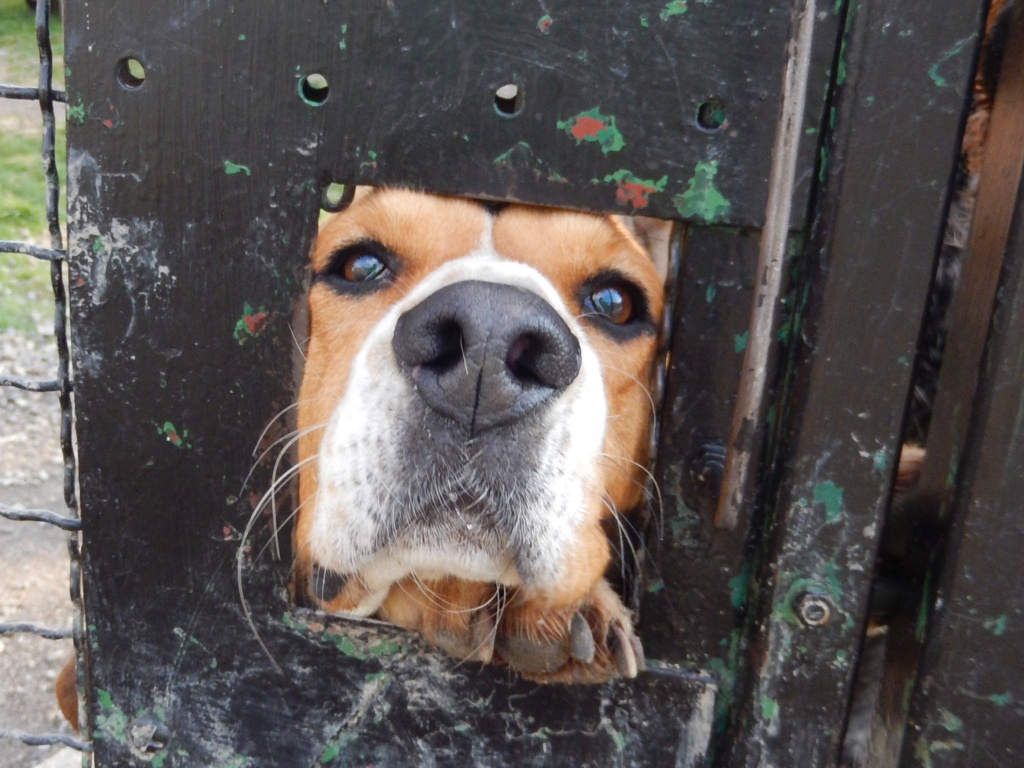 REINE (femelle croisée beagle)  Rscn8210