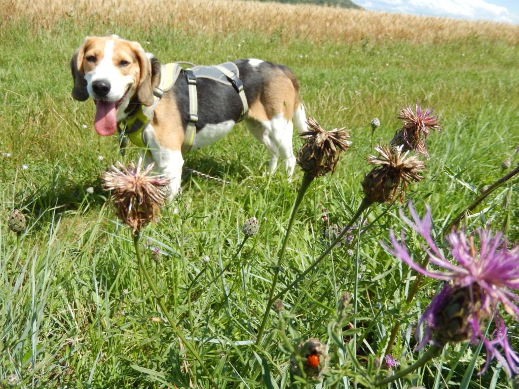 GOMETTE  (femelle croise beagle) Rscn9010