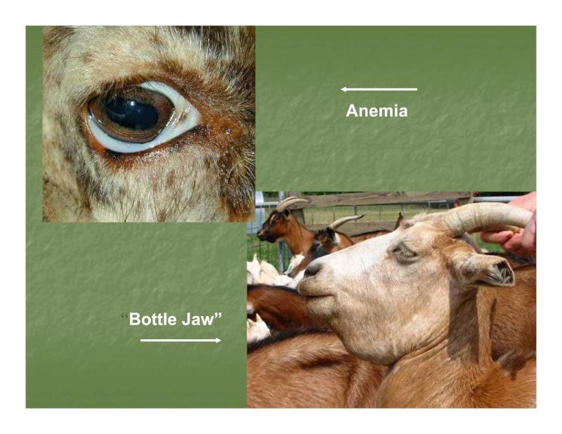 FAMACHA : méthode de traitement sélectif des parasites, solutionner le problème des résistances Famach10