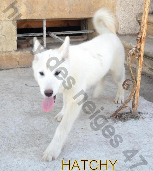 HATCHY femelle husky blanche DISPARUE 47 Anti-v10