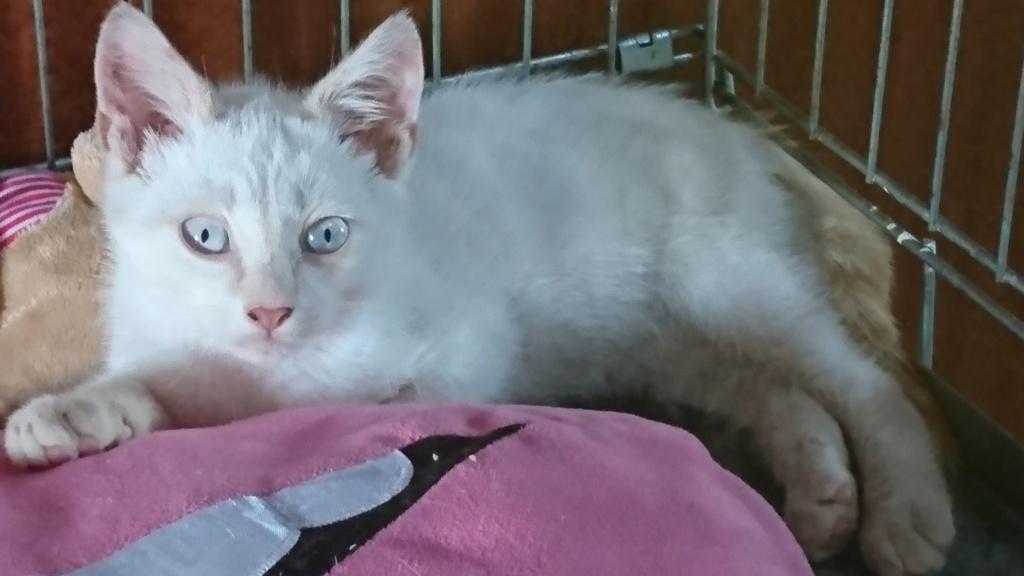 SWANN, européen blanc, 4 mois, mâle Dsc_0010