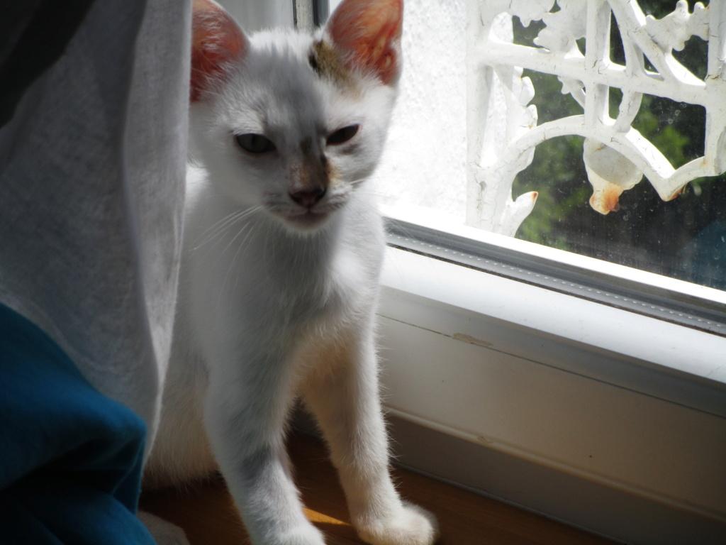 PHOENIX, mâle type Européen, blanc et tigré, tache tricolore, né le 23 Avril 2019 Img_1610