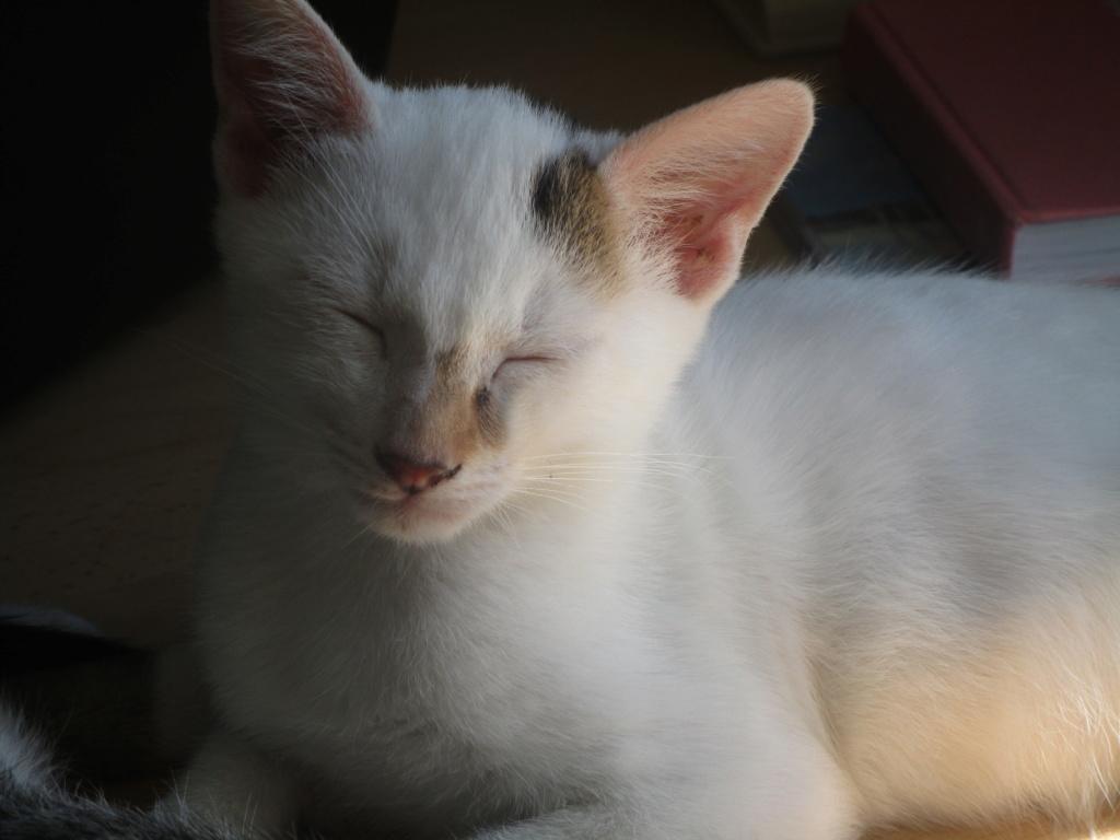 PHOENIX, mâle type Européen, blanc et tigré, tache tricolore, né le 23 Avril 2019 Img_1712