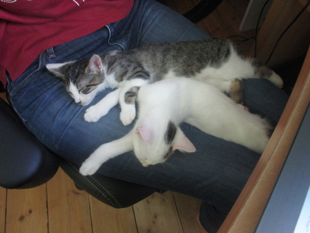 Pakito, chaton tabby blanc de type européen, né le 20/04/2019 Img_1715