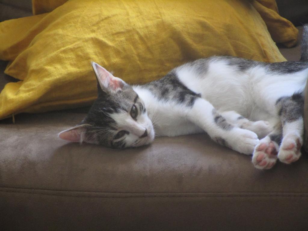 Pakito, chaton tabby blanc de type européen, né le 20/04/2019 Img_1720