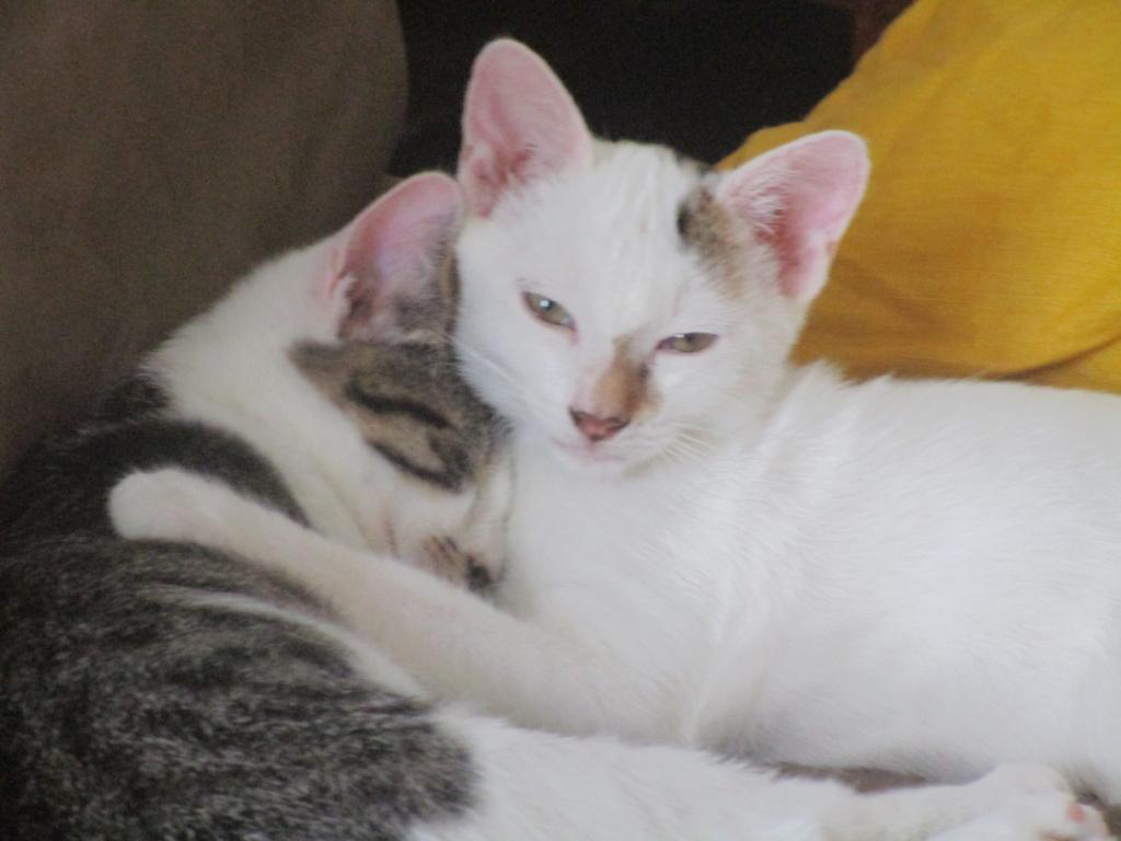 PHOENIX, mâle type Européen, blanc et tigré, tache tricolore, né le 23 Avril 2019 Img_1812