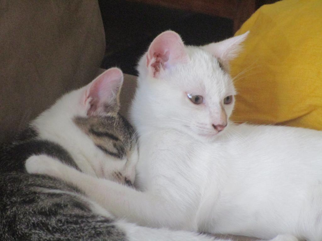 PHOENIX, mâle type Européen, blanc et tigré, tache tricolore, né le 23 Avril 2019 Img_1813