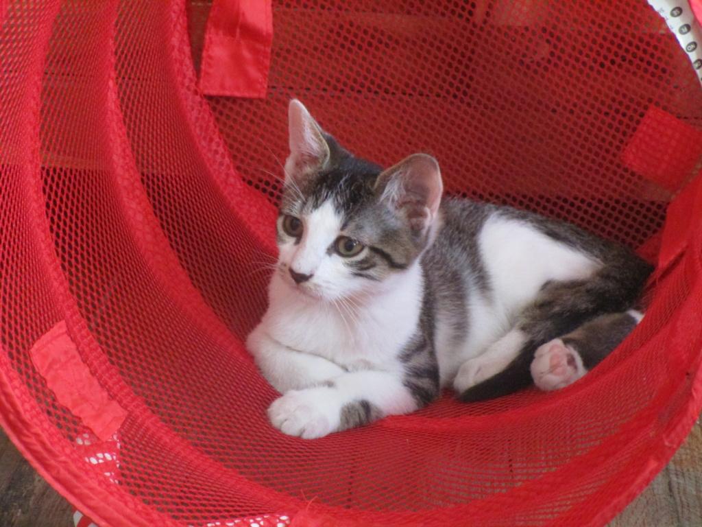 Pakito, chaton tabby blanc de type européen, né le 20/04/2019 Img_1815