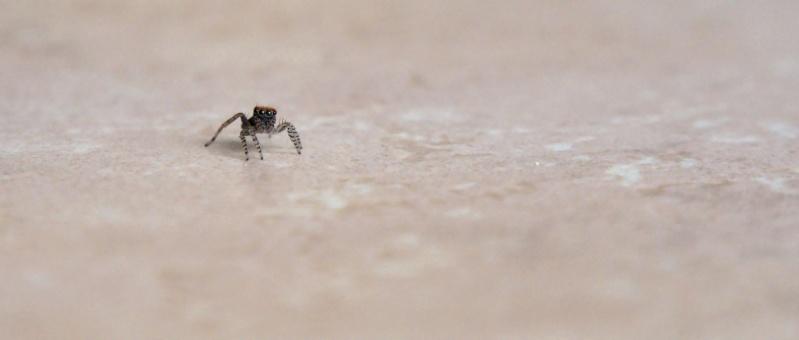 Une minuscule chasseuse (warning : araignée) P1001710