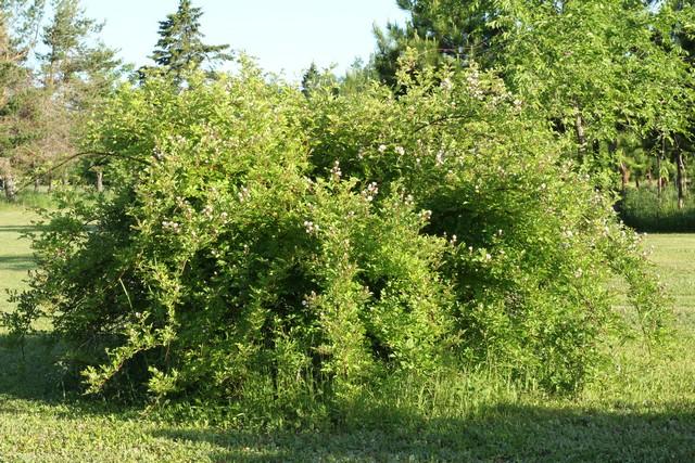 J'aimerais faire identifier cet arbuste 068_le11