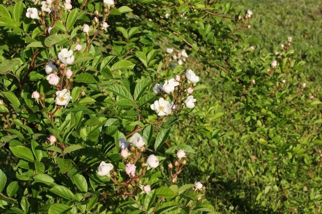 J'aimerais faire identifier cet arbuste 069_fe10