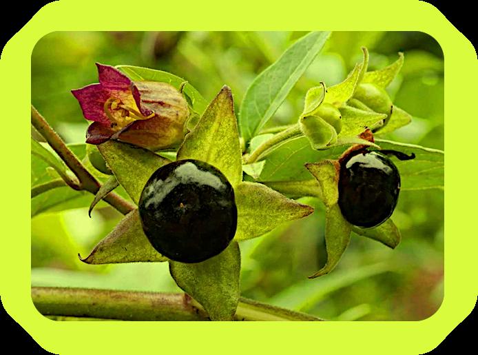 Магические Чернила из ягод Белладонны. 152