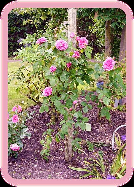 Как сделать тоник с розовой водой с использованием свежих лепестков роз. 3_a_au10