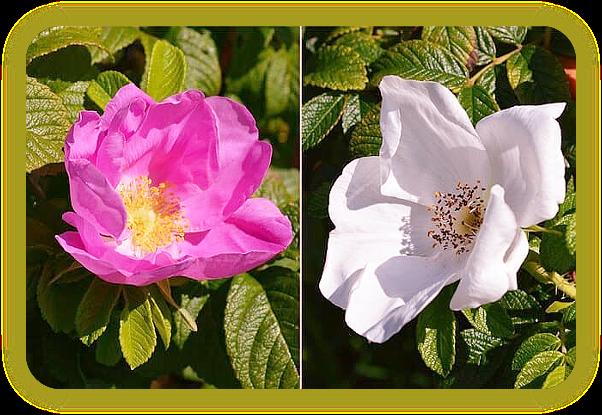 Как сделать тоник с розовой водой с использованием свежих лепестков роз. 4_a_au10