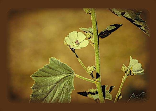 Магическое использование Алтея аптечного (Althea officinalis). A60