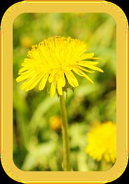 Магические свойства одуванчика: растение на все случаи жизни. A_1112