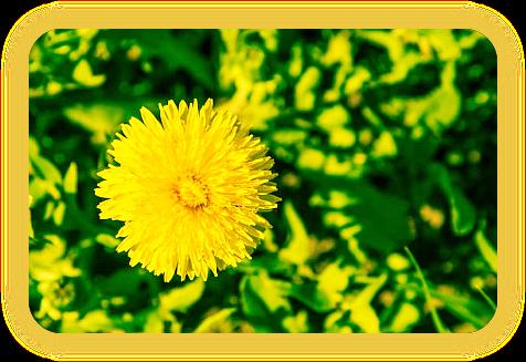 Магические свойства одуванчика: растение на все случаи жизни. A_1210