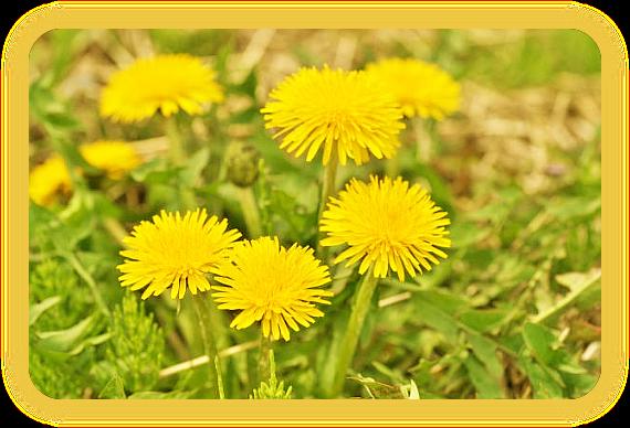 Магические свойства одуванчика: растение на все случаи жизни. A_914