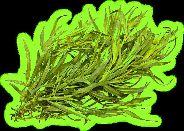 Трава тархун - лечебные свойства и противопоказания. Aaaa13